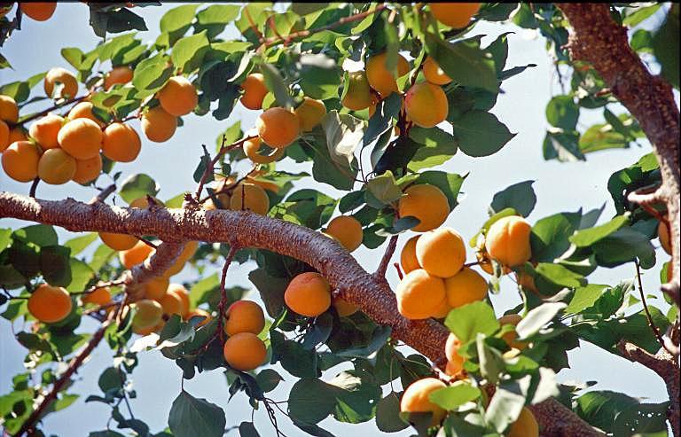 Marille Aprikosenbaum Richtig Schneiden