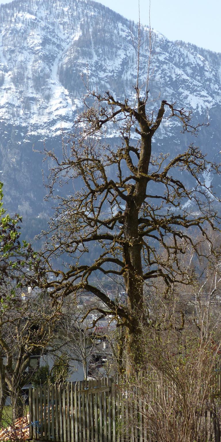 Spindelbaume Pflanzen Und Schneiden