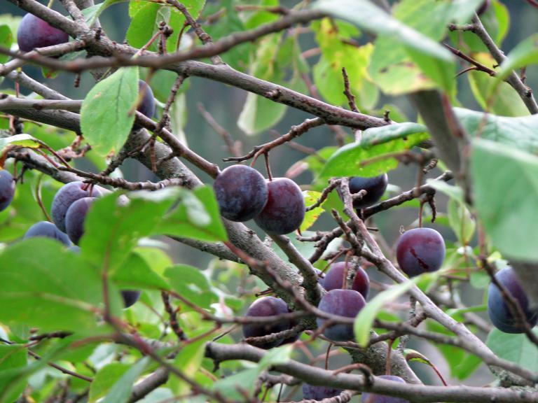 Sehr Zwetschgen- und Pflaumenbaum richtig schneiden OT42