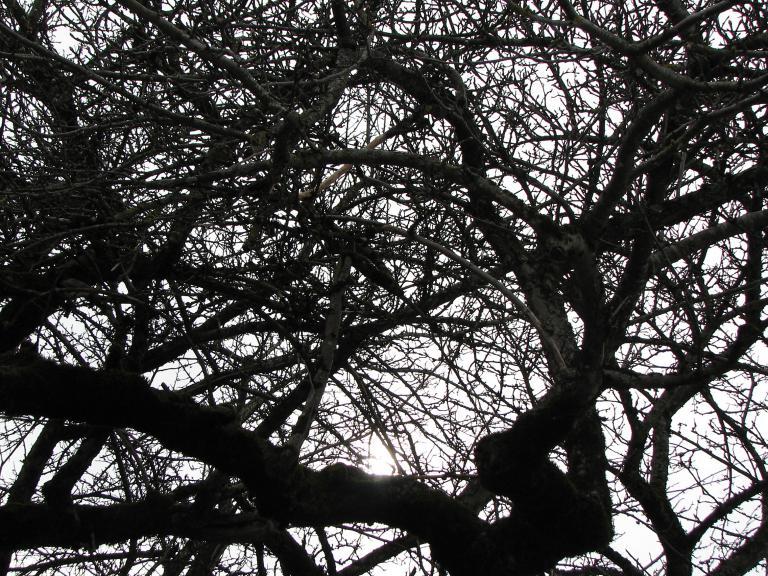 das malerische astgewirr eines ungeschnittenen alten apfelbaumes wird zwar viele bl ten bringen. Black Bedroom Furniture Sets. Home Design Ideas