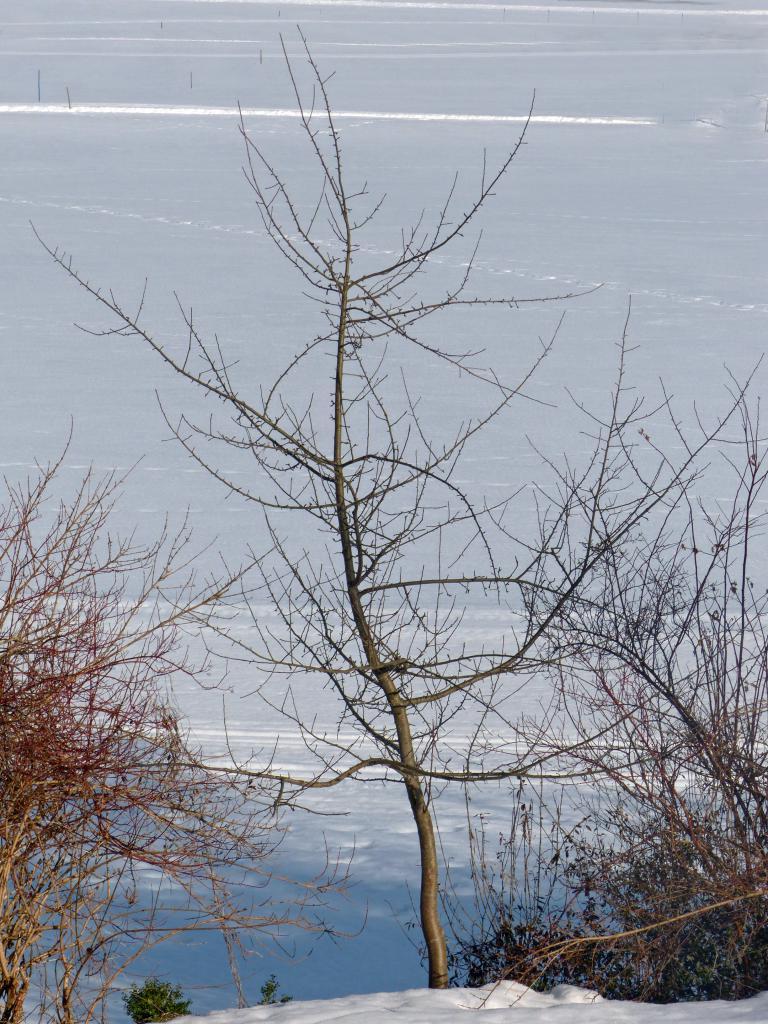ein ungeschnittener apfels mling apfelbaum der aus einem samen gezogen wurde w chst als gro e. Black Bedroom Furniture Sets. Home Design Ideas