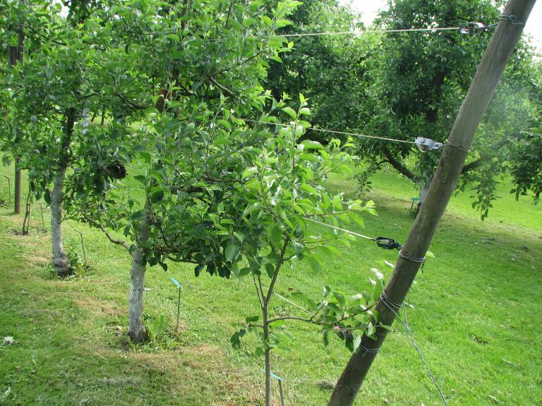 erwerbsobstbau ein alter hochstamm hausbaum inmitten einer mit hagelschutznetzen versorgten. Black Bedroom Furniture Sets. Home Design Ideas
