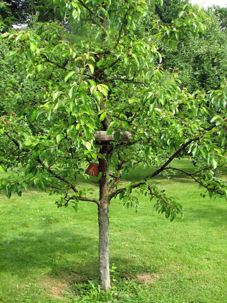 das foto zeigt einen birnen meterstamm der als spindelbaum gezogen wird und. Black Bedroom Furniture Sets. Home Design Ideas