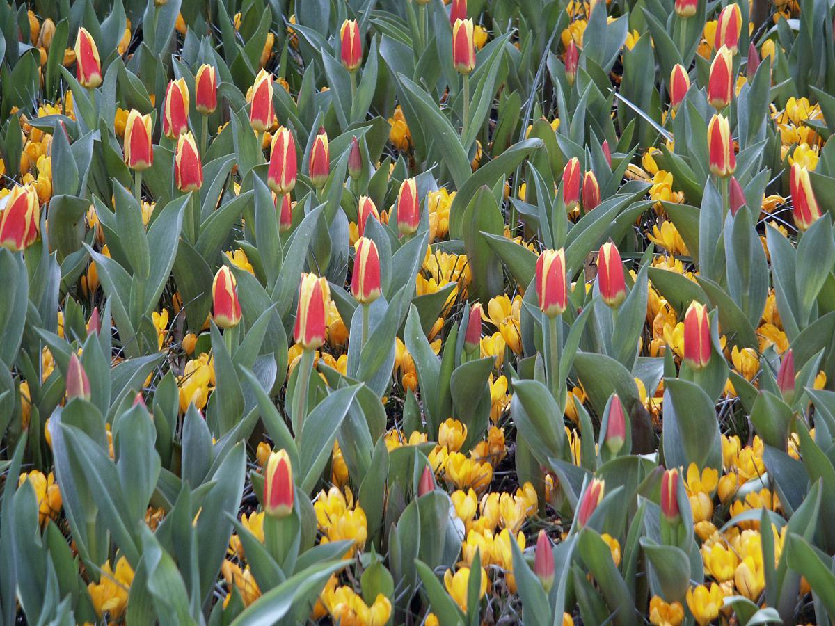 tulipa kaufmanniana goldst ck tulpe. Black Bedroom Furniture Sets. Home Design Ideas