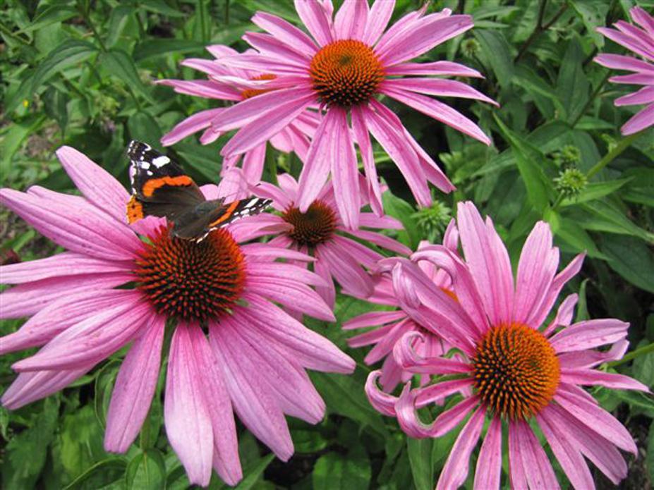 purpur sonnenhut echinacea purpurea. Black Bedroom Furniture Sets. Home Design Ideas