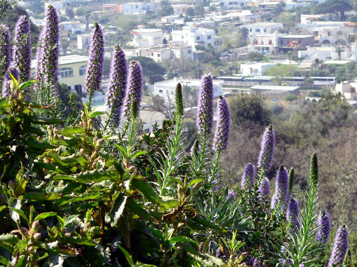 madeira natternkopf echium candicans. Black Bedroom Furniture Sets. Home Design Ideas
