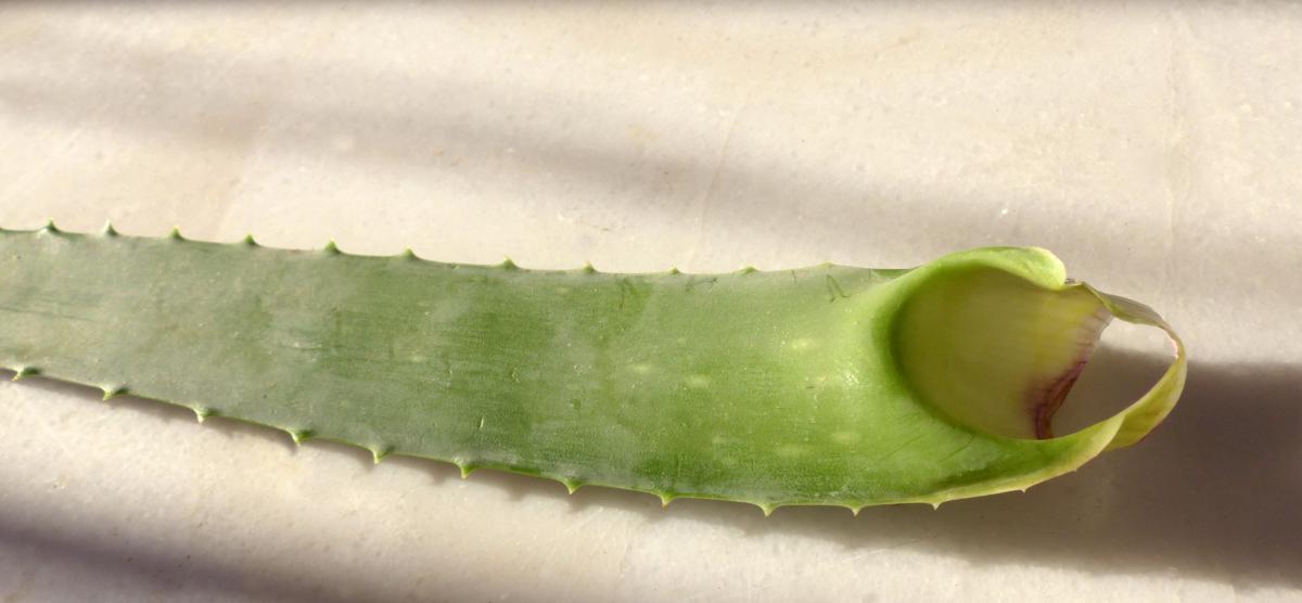das wasser und heilende inhaltsstoffe speichernde blattmark der aloe vera pflanze ist identisch. Black Bedroom Furniture Sets. Home Design Ideas