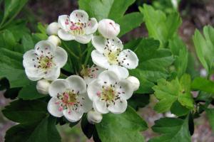Blüte Weißdorn