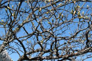 Vorfrühling - Austrieb des Bergahorns