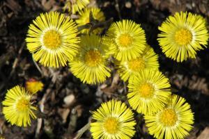 Vorfrühling - Blüte des Huflattichs
