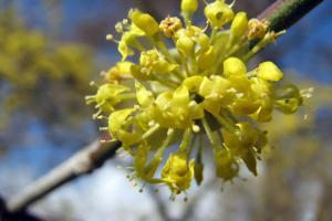 Vorfrühling - Einzeblüte der Kornelkirsche