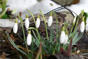 Vorfrühling - Schneeglöckchen