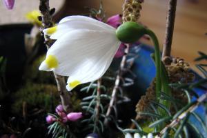Vorfrühling - Märzenbecher