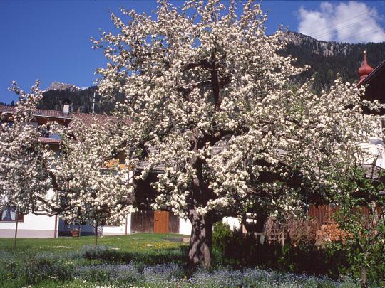 Küchenzwiebel Vermehren ~ blühender apfelbaum, malus domestica, in wängle