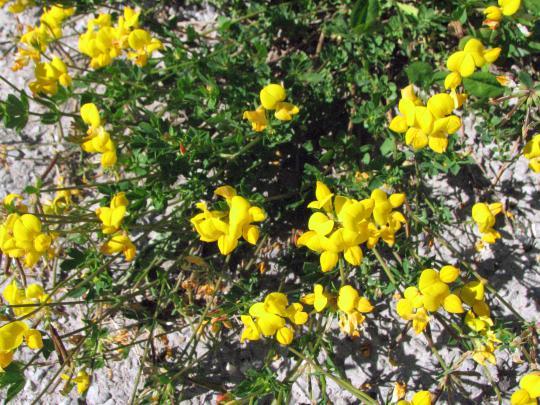 Super Schneckenresistente Blütenpflanzen #GB_16