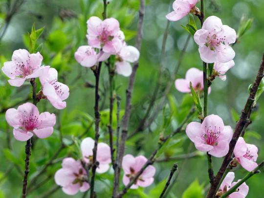 Küchenzwiebel Vermehren ~ pfirsich, prunus persica