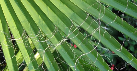 wildfind hanfpalme 1 hanfpalme trachycarpus. Black Bedroom Furniture Sets. Home Design Ideas
