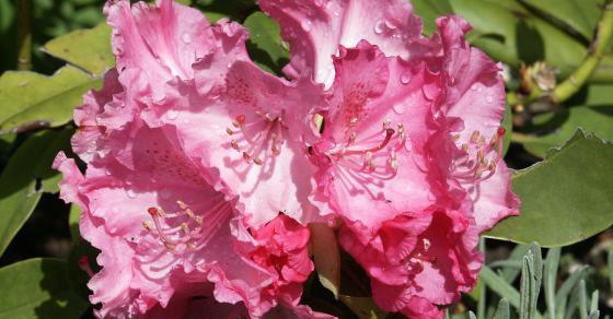 wildfind rhododendron. Black Bedroom Furniture Sets. Home Design Ideas