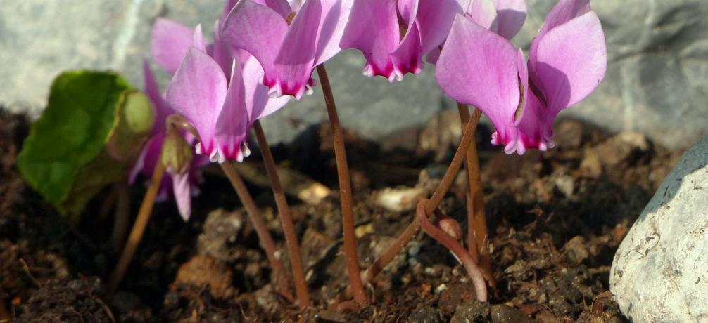 efeubl ttriges alpenveilchen cyclamen hederifolium. Black Bedroom Furniture Sets. Home Design Ideas