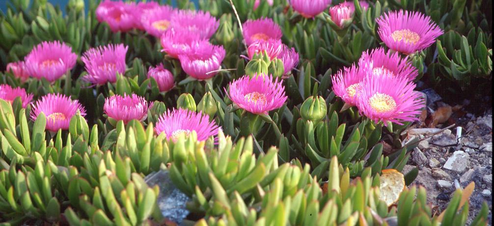 Mittelmeer-Mittagsblume, Carpobrotus acinaciformis