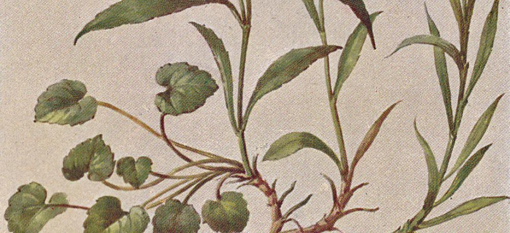 rundbl ttrige glockenblume campanula rotundifolia. Black Bedroom Furniture Sets. Home Design Ideas