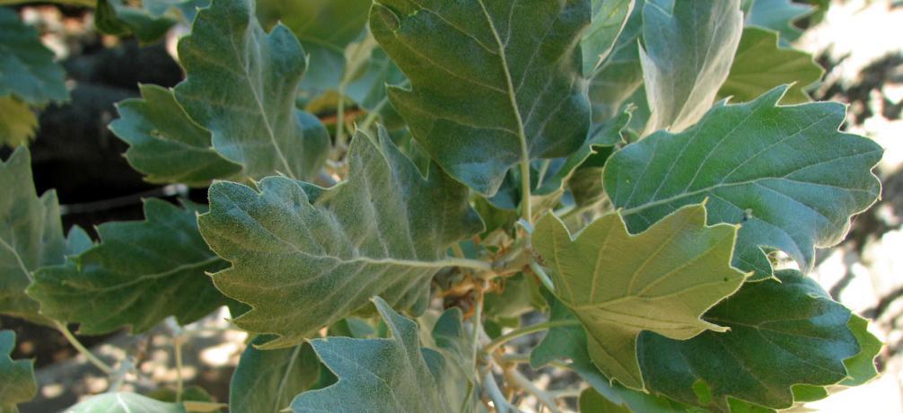 Walloneneiche, Quercus macrolepis