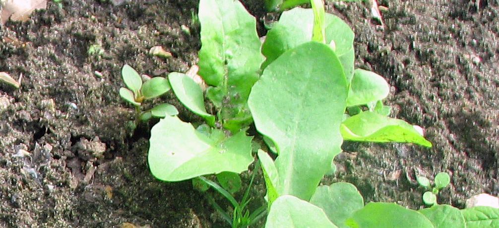 Zichorie Chicorée Cichorium Intybus Var Sativum Cichorium